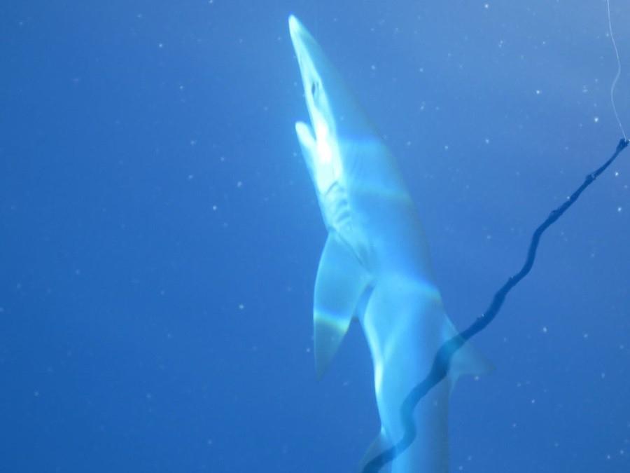 sharks-017-2017