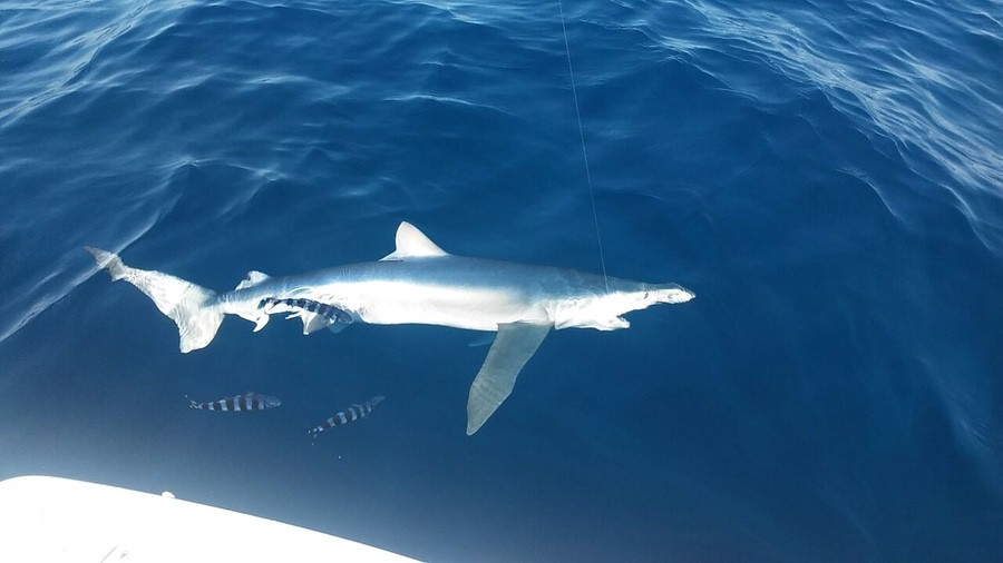 sharks-019-2017